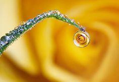 Rose in a dew drop