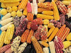 TIPOS DE MAIZ -  El maíz es un tipo de cereal, también conocido como elote o choclo, que en la mayoría de los casos es de color amarillo aunque también existen rojos, negros, marrones y naranjas. La planta de este cereal se caracteriza por contar con hojas gruesas y alargadas y su tallo es cilíndrico. Actu...