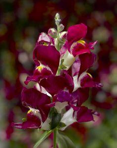 Snapdragon Snaptini Burgundy Bicolor by Syngenta Flowers - Year of the Snapdragon - National Garden Bureau