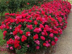 Non-Stop, Explosion of Blooms for 9 Months!  - Never Spray Again  Knock Out Roses are naturally resistant to diseases and pests that attack other roses, such as: mildew, fungi, blackspot, rose midge and leaf hoppers.  Never Cut Spent Blooms Again  Since this plant will continue to bloom throughout the year, there is no need to trim off...