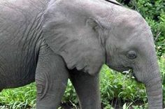 """An African Elephant is listed (or ranked) 5 on the list The Creepiest """"When You See It"""" Pictures Ever Bizarre Photos, Strange Photos, Funny Images, Funny Photos, Bing Images, Animal Memes, Funny Animals, Optical Illusions Faces, Closer"""