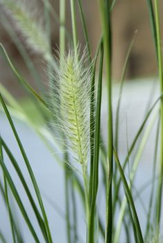 There are ornamental grasses for dry or moisture-retentive soils, for full sun or shade – all of them fully hardy perennial plants. Alpine Meadow, Hardy Perennials, Ornamental Grasses, Mother Earth, Herbs, Plants, Sun, Herb, Plant