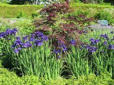 Iris sibirica `Blue King`   (Sibirische lis)