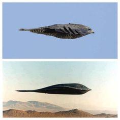 Nature inspired design- Peragrine falcon----Northrop Grumman B-2 Spirit