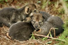 eurasian wolf | Eurasian Wolf Puppies