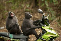 Highly Commended: Two monkeys test-drive a motorbike at Tangkoko Batuangus Nature Reserve, Indonesia / © Katy Laveck-Foster/CWPA/Barcroft Images  / Hysterical Winners from 2017's Comedy Wildlife Photo Awards / INSIDER Talia Lakritz 18 December, 2017 • The annual Comedy Wildlife Photo Awards capture hilarious photos of animals. • The contest aims to raise awareness about conservation.