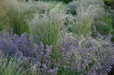 Billowing grasses & English lavender