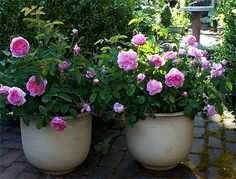 """'Common Moss' (rose) does very well in pots. The two shown in the picture have been in those pots for twenty years."" - Carolyn Parker, Rose Notes"