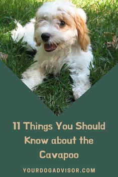 Combining the friendly nature of the Cavalier King Charles Spaniel with the intelligence and low-shedding coat of the Poodle, the Cavapoo is an increasingl Pet Puppy, Pet Dogs, Dogs And Puppies, Pets, Doggies, Poodle Mix Breeds, Dog Breeds, King Charles Spaniel, Cavalier King Charles