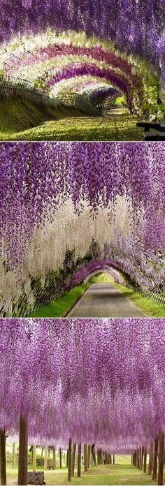 The Kawachi Wisteria Garden in Kitakyushu, Japan