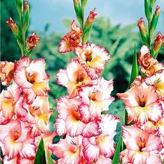 Gladioli are tall flowers and are composed of multiple flowers. They stand up to 4 feet tall.  It is mainly grown in South Africa, Europe and Mediterranean regions of Europe. This flower is available in a variety of colors like white, pink, purple, yellow, orange, green and salmon.