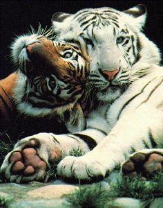 always wanted a tiger. hahaha