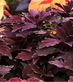 Thriving in sun or shade, Colorblaze Marooned coleus