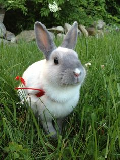 Photos illustrating two sides of bunny: one in which he sits sweetly, another in which grass sticks out of his mouth while eating - October 2, 2013 - More at the link: http://dailybunny.org/2013/10/02/photos-illustrating-two-sides-of-bunny-one-in-which-he-sits-sweetly-another-in-which-grass-sticks-out-of-his-mouth-while-eating/ !