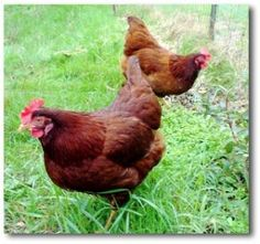 When choosing chicken breeds for backyard chickens, you need to consider what you want from raising your own chickens. Eggs and meat? Here's what you need to know about different chicken breeds. Best Egg Laying Chickens, Laying Hens, Chickens And Roosters, Raising Chickens, Red Chicken, Chicken Eggs, Farm Chicken, Chicken Houses, Chicken Coops
