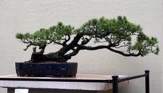 Bonsai Collection | Flickr - Photo Sharing!