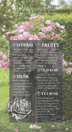 The five fragrance types of the English Rose English Roses, Shrubs, Gardening Tips, Fragrance, Delicate, Gardens, Advice, Board, Flowers