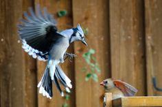 Bluejay and cardinal