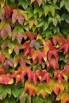 Virginia Creeper (Parthenocissus quinquefolia) Zones 4-9 If you need a quick cover, call on Virginia Creeper, a fast-growing vine that clings to walls and other surfaces. Its leaves turn brilliant colors in the fall.