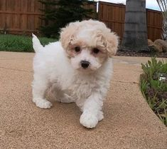 => Registration Papers - Dog Training  => Lifetime Satisfaction Guarantee=> AKC Papers We have the best Maltipoo puppies, clean and intelligent Puppies Maltipoo puppies for Adoption All registered and health Maltese Poodle Puppies, Maltipoo Puppies For Sale, Maltipoo Dog, Spaniel Puppies For Sale, Pomeranian Puppy For Sale, Cavapoo Puppies, Cocker Spaniel Puppies, Shih Tzu Puppy, Puppys