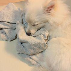 . . . わざわざ隣に来て、私の脱ぎっぱなしのパーカーの上で寝る。 . . . #ここに本物いますよー . #いくらでも抱っこしてあげるのに . #スリスリしてたぐり寄せてた . #可愛すぎるんですけど😭 . . #チロル #ポメワ #ポメラニアン #チワワ #ポメチワ #ポワワ #MIX犬  #白ポメ #ポメラニアンが世界一可愛い #ギガちゃん #愛犬 #しろくま #ポメラニアン部 #ポメラニアンクリーム #ポメラニアン大好き