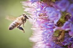 Blue Pollen Fine Art Photography Prints For Sale by Priya Ghose - A honeybee, already carrying blue pollen in the pollen baskets or corbicula on its hind legs, flies up to another Echium to gather more of this exotic blue substance.  #pollinators #insects #pollination