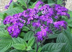 Heliotrope is one of the fragrance's Base notes.