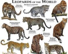 All about the classification of Leopards: lower classifications, genus, species & subspecies. Panthera pardus taxonomy from kingdom to subspecies. Especie Animal, Animal Facts, Panthera Pardus Orientalis, Beautiful Cats, Animals Beautiful, Animals And Pets, Cute Animals, Wild Animals, Baby Animals