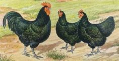 Winter hardy, lay eggs all winter, so black they are green