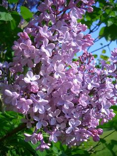 Types of Purple Flowers | Lilac