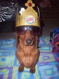 Dachshund King..... (What a burger!!)