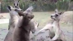 Una auténtica pelea de canguros - Dalealplay