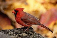 Northern Cardinal Information: A Cardinal against a fiery autumn background.