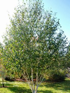 BlueBell Nursery - BlueBell Nursery - Trees & Shrubs - Betula - Betula utilis var jacquemontii 'Doorenbos'