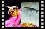 Harika canlılar 1 (Bal arısı, somon, monark, yusufçuk) Video