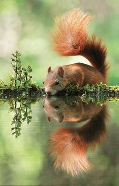 squirrel & his reflection ~ beautiful photography