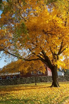 Beautiful Foliage at Steppingstone!  Enjoy it before it blows away...