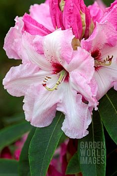 Rhododendron 'Cotton Candy' huge plant and large trusses like cotton candy.