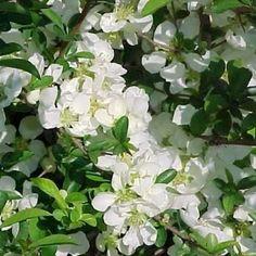 japanse kweepeer witte bloem 75-100 cm struik