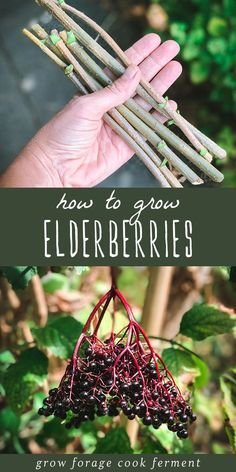 Learn how to grow elderberries for food and medicine, right in your own backyard! Elderberries can be grown from cuttings, starts, or seeds. garden quotes How to Grow Elderberries in Your Backyard Elderberry Growing, Elderberry Plant, Elderberry Recipes, Elderberry Syrup, Fruit Garden, Edible Garden, Herbs Garden, Garden Pests, Growing Vegetables