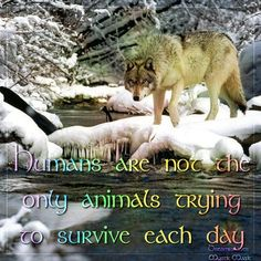 The Government plans to abandon wolves!  Without wolves, western landscapes including Rocky Mountain National Park, the Grand Canyon,  the Weminuche are missing a key piece of a complete  well-functioning ecosystem.  Add your voice to the chorus of those decrying Fish  Wildlife's premature abandonment of wolves which will put wolves back in the crosshairs.  PLZ Sign  Share!