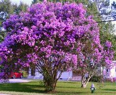 This looks just like the crape myrtle in the backyard last our last house in Conway. If it wasn't for one detail I would swear it was that yard, even the power line matches. Anyway, I love these plants.