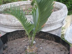 Encephalartos Laevifolius: A very rare cycad that is very slow growing that is valued at R275 a cm.