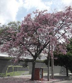 Hermoso árbol de Guayacán rosado ubicado detrás de la estación de metrolinea