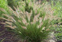 Pennisetum alopecuroides 'Hameln' - Dwarf Fountain Grass - earlier blooming than Penn. alopecuroides, and is also a smaller plant. Plants, Grass, Perennial Grasses, Fountain Grass, Australian Native Plants, Landscape, Perennials, Ornamental Grasses, Grasses Garden