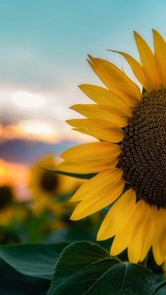 sunflower wallpapers Best Picture For watch wallpaper billie eilish For Your Taste You are looking for something, and it is going to tell you … Flower Background Wallpaper, Flower Phone Wallpaper, Beautiful Nature Wallpaper, Cute Wallpaper Backgrounds, Wallpaper Iphone Cute, Pretty Wallpapers, Aesthetic Iphone Wallpaper, Aesthetic Wallpapers, Sunflowers Background