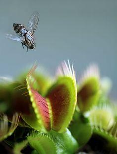 Füttern der Venusfliegenfalle