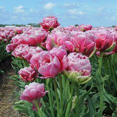 Tulipa 'Wedding Gift' - Bei diesem Namen könnte man meinen, es handle sich um eine weiße Tulpe. Das frische Pink über dem hellen Grün kann man sich aber auch hervorragend als Teil eines Brautstrauß vorstellen. Oder man pflanzt sie einfach in den Garten. Die Tulpenzwiebeln sind online auf www.fluwel.de erhältlich.