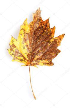 Beautiful autumn leaf on white background - Stock Photo , Indesign Magazine Templates, White Background Photo, Botany, Birds In Flight, Autumn Leaves, Stock Photos, Image, Beautiful, Fall Leaves