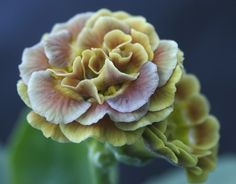 Primula Auricula Brown Tan Double